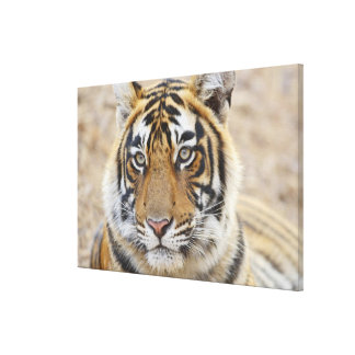 Portrait of Royal Bengal Tiger, Ranthambhor 2 Stretched Canvas Prints