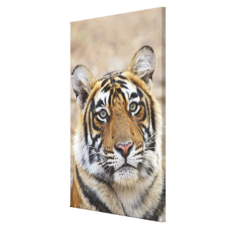 Portrait of Royal Bengal Tiger, Ranthambhor Gallery Wrap Canvas