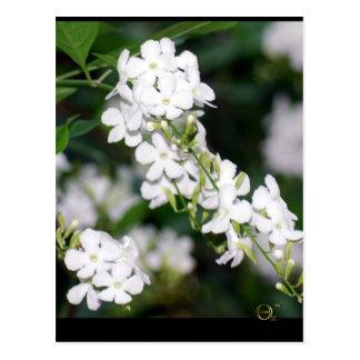 Pretty White Flowers Postcard