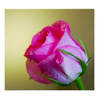 Rain Drop Kisses of Nature on Pink Rose Poster