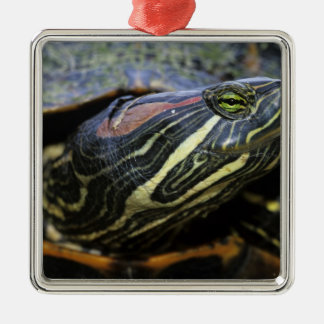 Red-eared Slider, Trachemys scripta elegans, 2 Silver-Colored Square Decoration