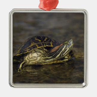 Red-eared Slider, Trachemys scripta elegans, Silver-Colored Square Decoration