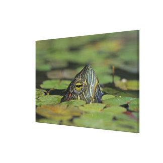 Red-eared Slider, Trachemys scripta elegans, Stretched Canvas Prints