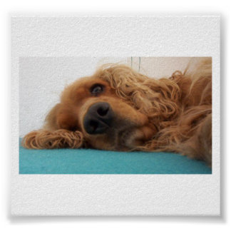 red english cocker spaniel 2.png poster