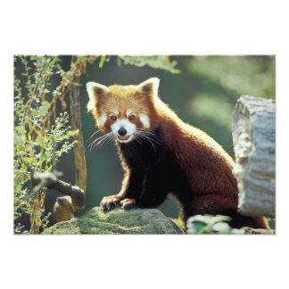 Red Panda Ailurus fulgens) Art Photo