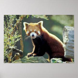 Red Panda Ailurus fulgens) Poster