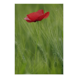 Red poppy flower among wheat crop, Tuscany, Poster