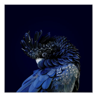Red-Tailed Black Cockatoo in Blue Poster