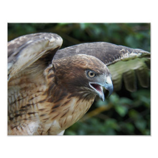Red-tailed Hawk Photo Poster