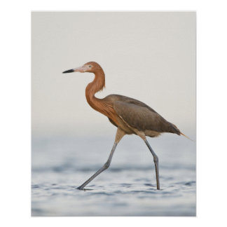 Reddish Egret adult hunting in bay, Texas Poster