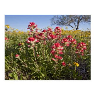 Roadside wildflowers in Texas, spring 4 Postcard