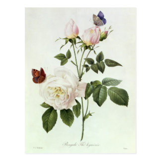 Rosa: Bengale the Hymenes Postcard