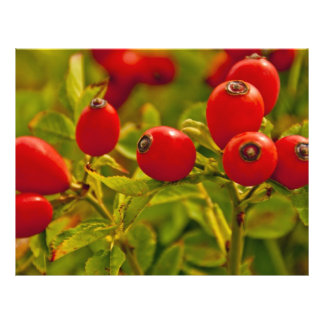 Rose Hip 21.5 Cm X 28 Cm Flyer