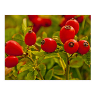 Rose Hip Postcard