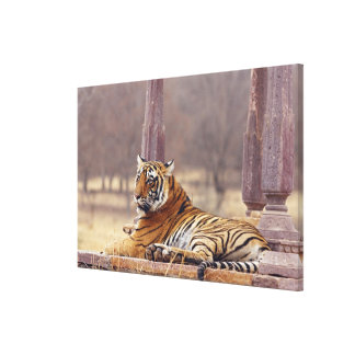 Royal Bengal Tiger at the ceaph, Canvas Prints
