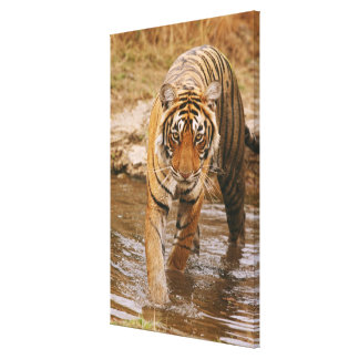 Royal Bengal Tiger coming out of jungle pond, Canvas Print