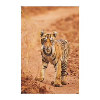 Royal Bengal Tiger cub on the move Stretched Canvas Print