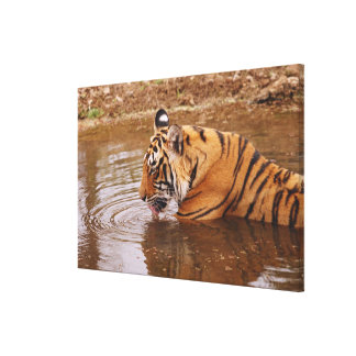 Royal Bengal Tiger drnking water in the jungle Canvas Prints