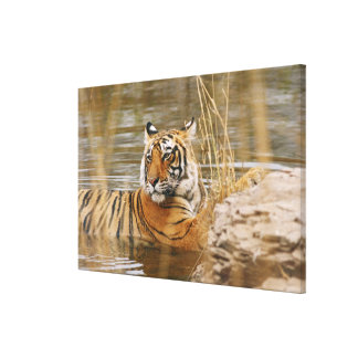 Royal Bengal Tiger in the forest pond, Gallery Wrapped Canvas