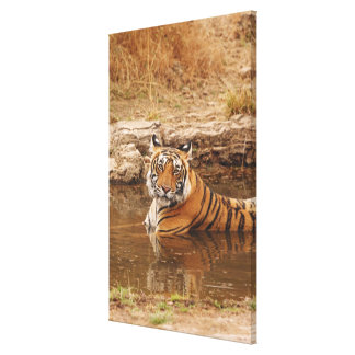 Royal Bengal Tiger in the jungle pond, 2 Canvas Print