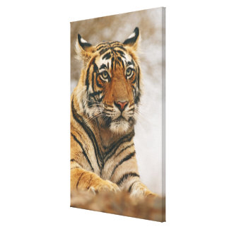 Royal Bengal Tiger on the rock, Ranthambhor Gallery Wrap Canvas