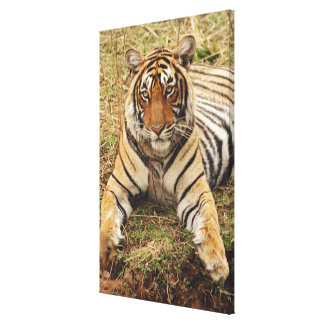 Royal Bengal Tiger, Ranthambhor National Park, Gallery Wrapped Canvas