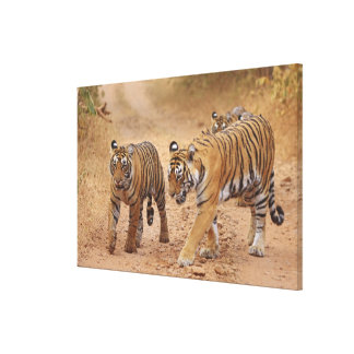 Royal Bengal Tigers on the move, Ranthambhor 2 Gallery Wrapped Canvas