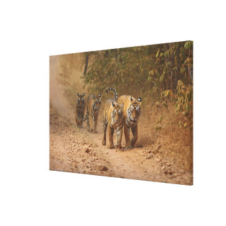 Royal Bengal Tigers on the move, Ranthambhor Gallery Wrapped Canvas