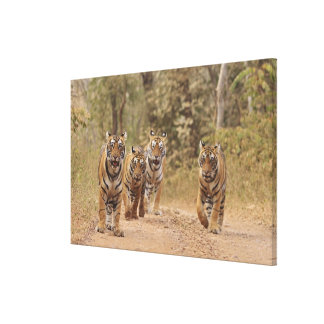 Royal Bengal Tigers on the track, Ranthambhor 5 Canvas Print