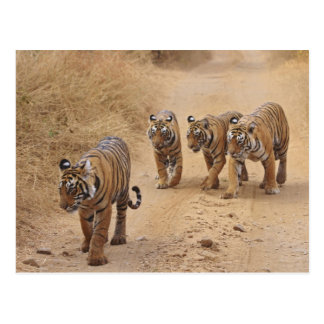 Royal Bengal Tigers on the track, Ranthambhor 8 Postcard