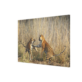 Royal Bengal Tigers play-fighting, Ranthambhor Gallery Wrap Canvas