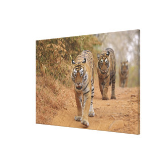 Royal Bengal Tigers walking along the track, Gallery Wrapped Canvas