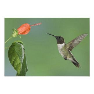 Ruby-throated Hummingbird, Archilochus Photographic Print
