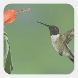 Ruby-throated Hummingbird, Archilochus Square Sticker