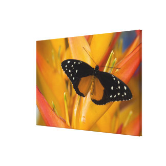 Sammamish, Washington Tropical Butterfly 40 Canvas Prints