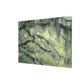 Savannah, Georgia, Live Oak tree draped with Gallery Wrap Canvas
