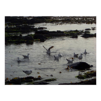 Sea Gulls in Bay Poster
