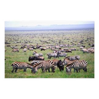 Serengetti Plains full of herds of Zebras and Art Photo