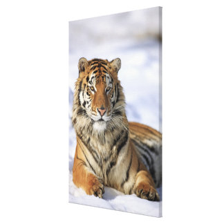 Siberian Tiger, Panthera tigris altaica, Asia Stretched Canvas Prints