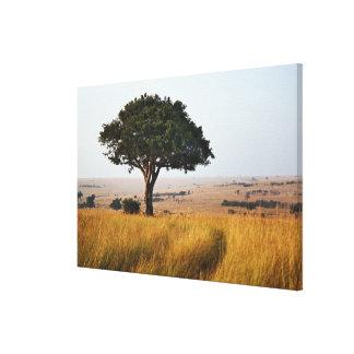 Single acacia tree on grassy plains, Masai Mara, Gallery Wrapped Canvas