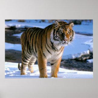 Snow Loving Tiger Poster