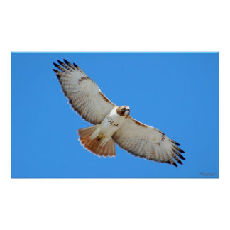 Soaring Red-Tailed Hawk Poster