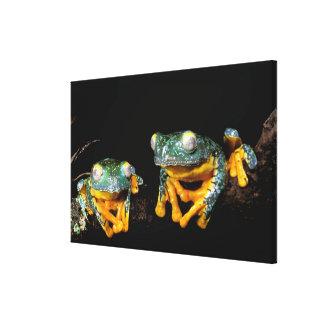 South America, Ecuador, Amazon. Leaf frogs Gallery Wrap Canvas
