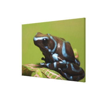 South America, Panama. Close-up of blue and Stretched Canvas Print