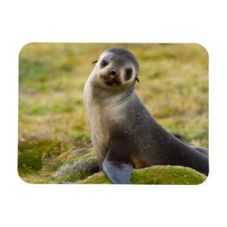 South Georgia. Antarctic fur seal 2 Rectangular Photo Magnet