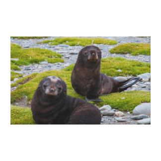 South Georgia. Salisbury Plain. Antarctic fur 2 Stretched Canvas Print