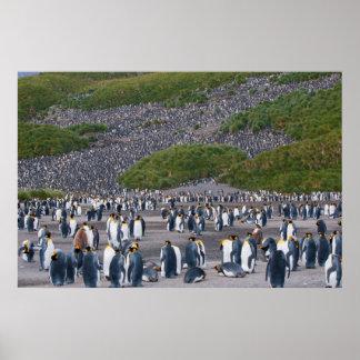 South Georgia. Salisbury Plain. King penguins 4 Poster