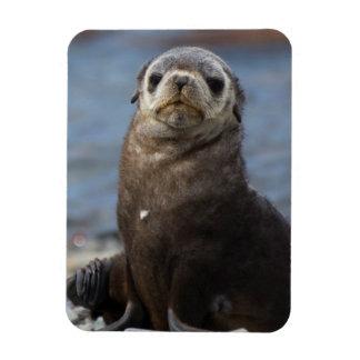 South Georgia. Stromness. Antarctic fur seal 2 Rectangular Photo Magnet