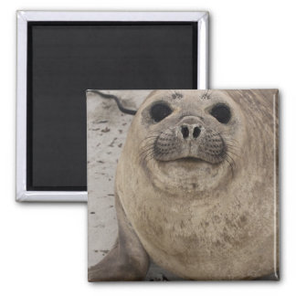 Southern Elephant Seal Mirounga leonina) Square Magnet