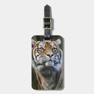 Sumatran Tiger (Panthera tigris sumatrae) Luggage Tags